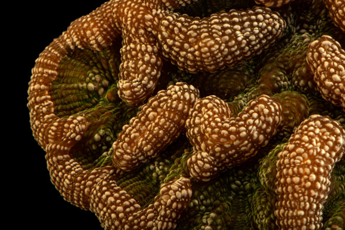 Photo: A knobby cactus coral (Mycetophyllia aliciae) at Riverbanks Zoo and Garden.