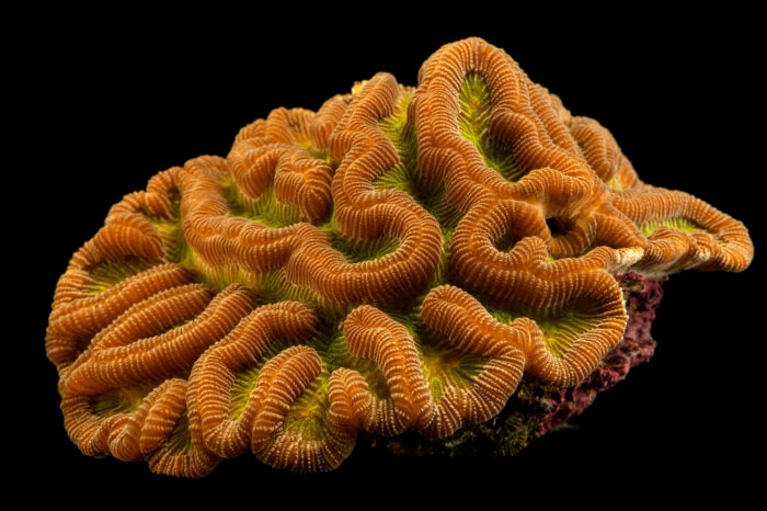 Photo: A boulder brain coral (Colpophyllia natans) at Riverbanks Zoo and Garden.