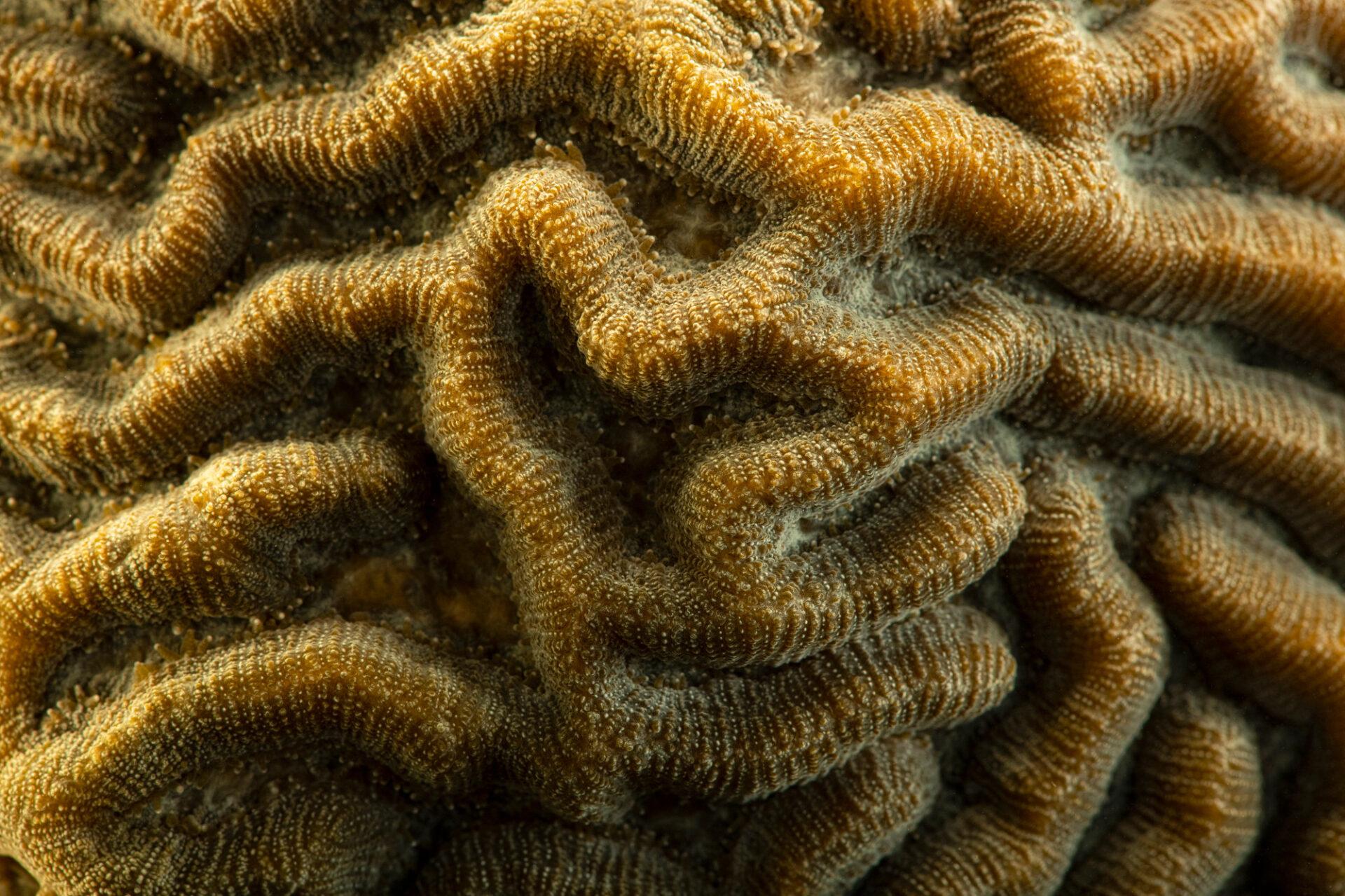 Photo: A symmetrical brain coral (Pseudodiploria strigosa) at Riverbanks Zoo and Garden.