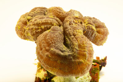 Photo: A spiny flower coral (Mussa angulosa) at Riverbanks Zoo and Garden.