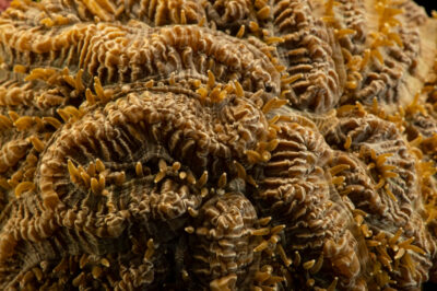 Photo: A maze coral (Meandrina meandrites) at Riverbanks Zoo and Garden.