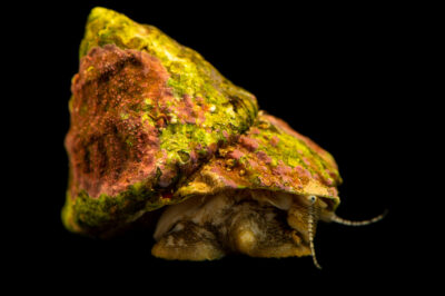 Photo: A lightfoot snail (Lithopoma tectum) at Riverbanks Zoo and Garden.