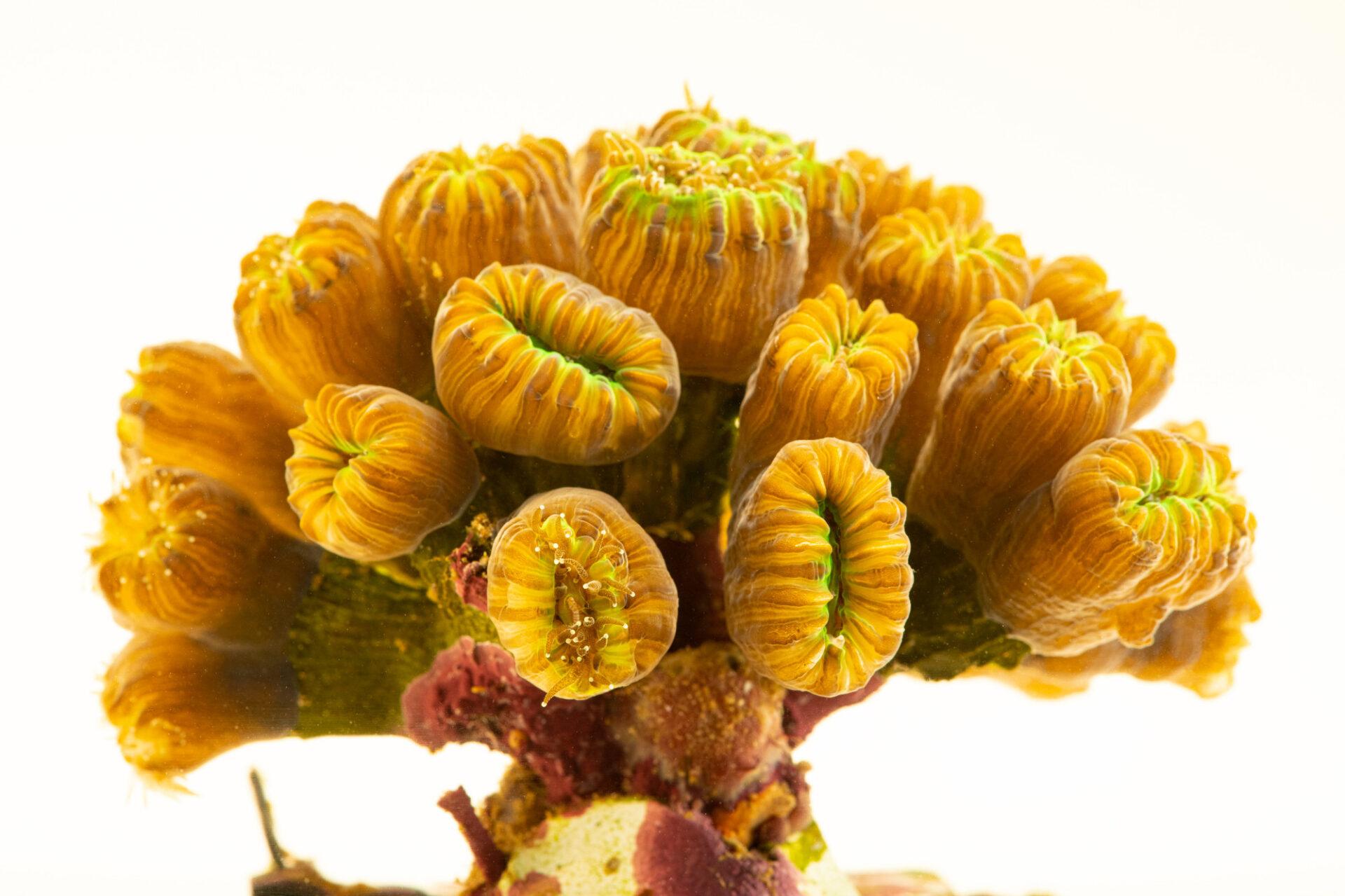 Photo: A smooth flower coral (Eusmilia fastigiata) at Riverbanks Zoo and Garden.