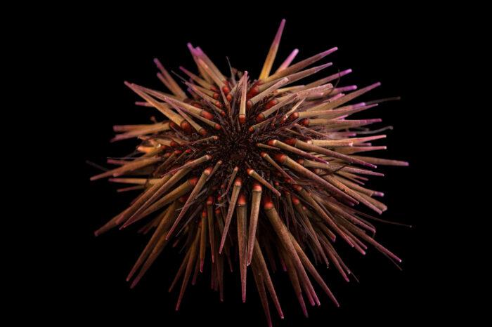 Photo: A black boring sea urchin (Echinometra lucunter) at Riverbanks Zoo and Garden