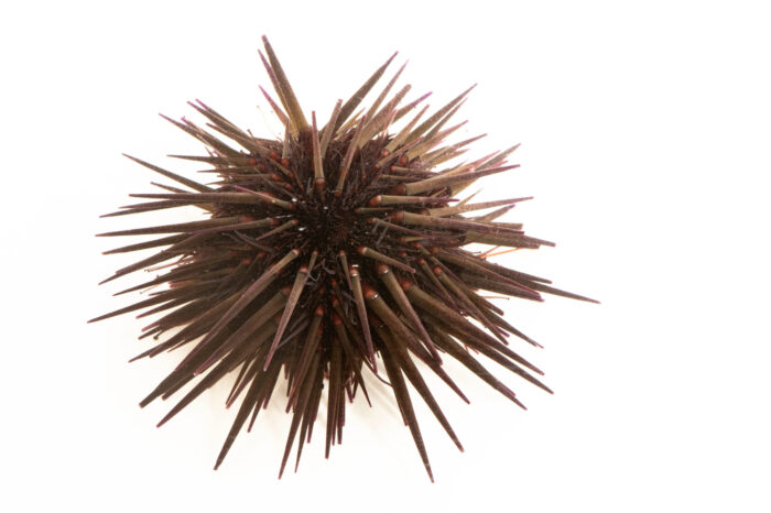 Photo: A black boring sea urchin (Echinometra lucunter) at Riverbanks Zoo and Garden