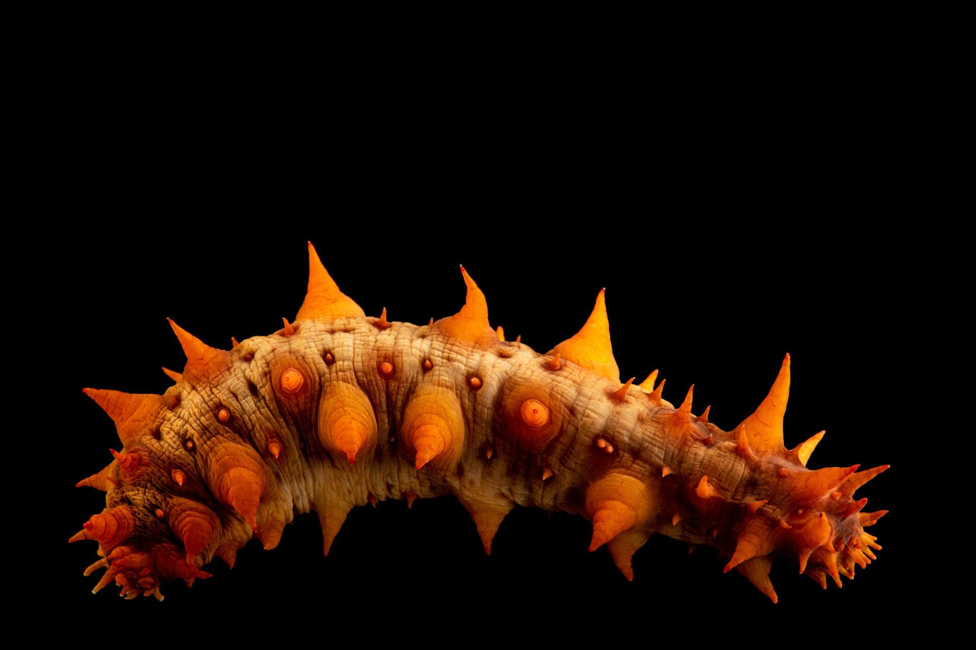 Photo: A California giant sea cucumber (Apostichopus californicus) at Riverbanks Zoo and Garden.