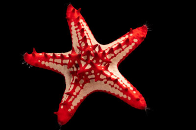 Photo: A red knobbed sea star (Protoreaster linckii) at the Butterfly Pavilion.