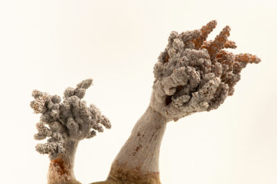 Photo: A tree coral (Capnella sp.) at the Butterfly Pavilion.