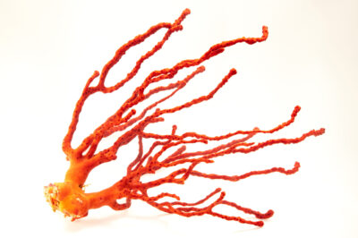 Photo: A red finger gorgonian (Diodogorgia nodulifera) at the Butterfly Pavilion.