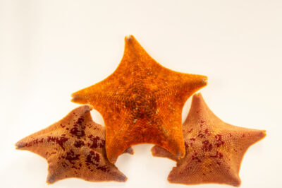 Photo: Bat sea stars (Patiria miniata) at the Butterfly Pavilion.