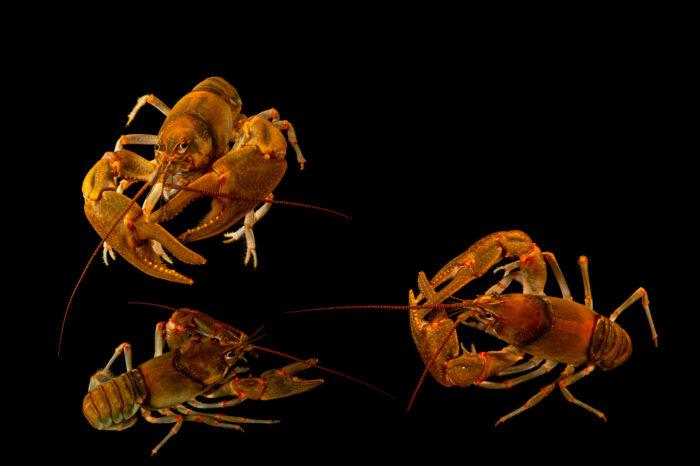 Photo: Three Coosawattee crayfish (Cambarus coosawattae) at the West Liberty University Crayfish Conservation Lab in West Liberty, Virginia.
