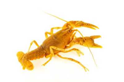 Photo: An ambiguous crayfish (Cambarus striatus) at the West Liberty University Crayfish Conservation Lab in West Liberty, West Virginia.