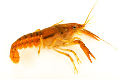 Photo: A mane crayfish, Procambarus lophotus, at the West Liberty University Crayfish Conservation Lab in West Liberty, West Virginia.