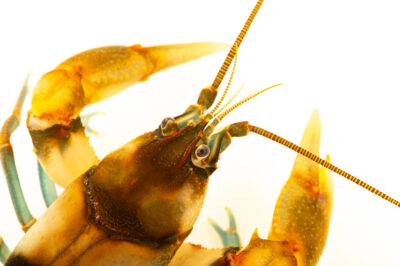 Photo: A depression crayfish (Cambarus rusticiformis) at the West Liberty University Crayfish Conservation Lab in West Liberty, West Virginia.