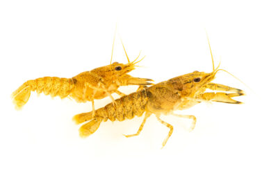 Photo: Two reticulate crayfish (Faxonius erichsonianus) at the West Liberty University Crayfish Conservation Lab in West Liberty, West Virginia.