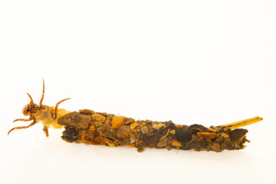 Photo: A unidentified case-maker caddisfly larvae (Limnephilid sp.) at the West Liberty University Crayfish Conservation Lab in West Liberty, Virginia.