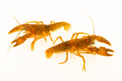 Photo: Two mountain crayfish (Cambarus conasauganensis) at the West Liberty University Crayfish Conservation Lab in West Liberty Virginia.