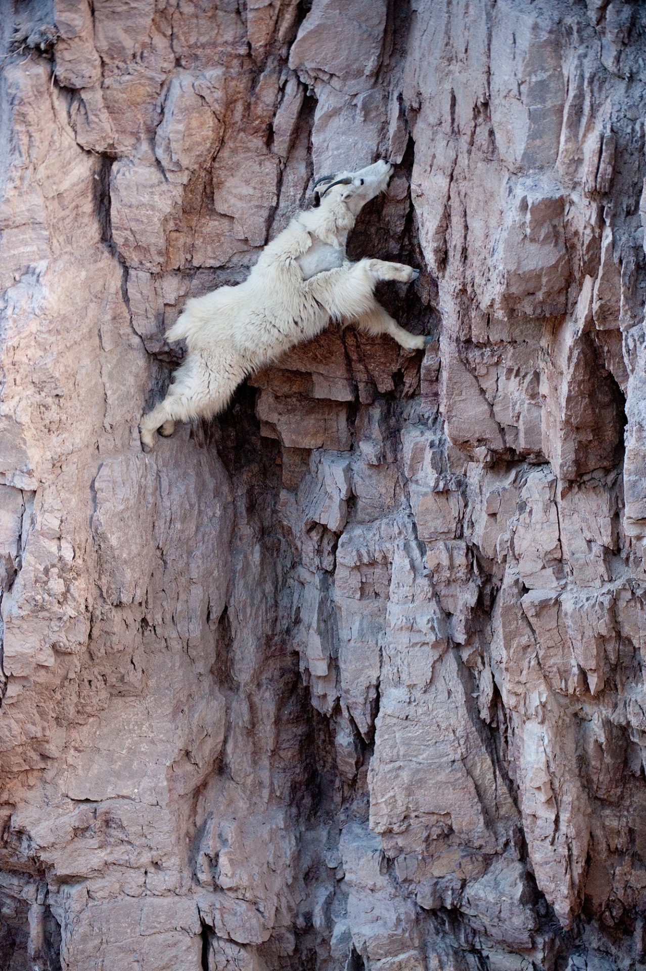 A mountain goat (Oreamnos americanus) stretches to reach a mineral lick in the Walton area of Glacier National Park in Montana.