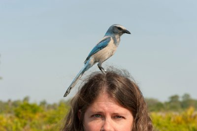 Picture of a vulnerable (IUCN) and federally threatened Florida scrub jay (Aphelocoma coerulescens) happily resting on a woman's head.