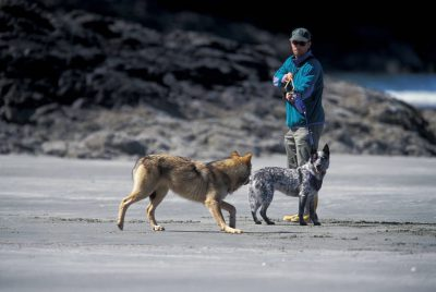 Photo: Steve Diggon, an assistant/fixer on the Wolves to Whales shoot, tries to keep his dog out of the way of a habituated wolf on Vargas Island, BC.