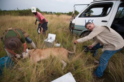 Photo: A biologist radio collars a lioness in the Ishasha Section of Queen Elizabeth National Park.
