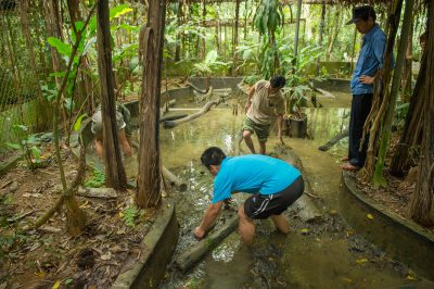 Shown are the Cuc Phuong Turtle Conservation Center staff members searching for a vulnerable Southeast Asian softshell turtle (Amyda cartilaginea).