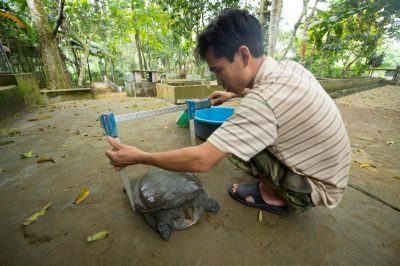 A staff member from the Cuc Phuong Turtle Conservation Center measures a vulnerable Southeast Asiatic softshell turtle (Amyda cartilaginea).
