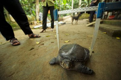 A staff member from the Cuc Phuong Turtle Conservation Center measures a vulnerable Southeast Asiatic softshell (Amyda cartilaginea).
