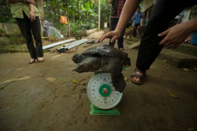 A staff member from the Cuc Phuong Turtle Conservation Center weighs a vulnerable Southeast Asiatic softshell (Amyda cartilaginea).