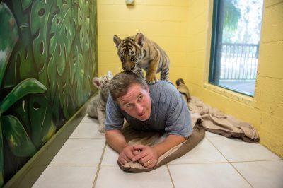 Picture of Joel Sartore with endangered, eight-week-old Bengal tiger cubs (Panthera tigris tigris) at the Alabama Gulf Coast Zoo.