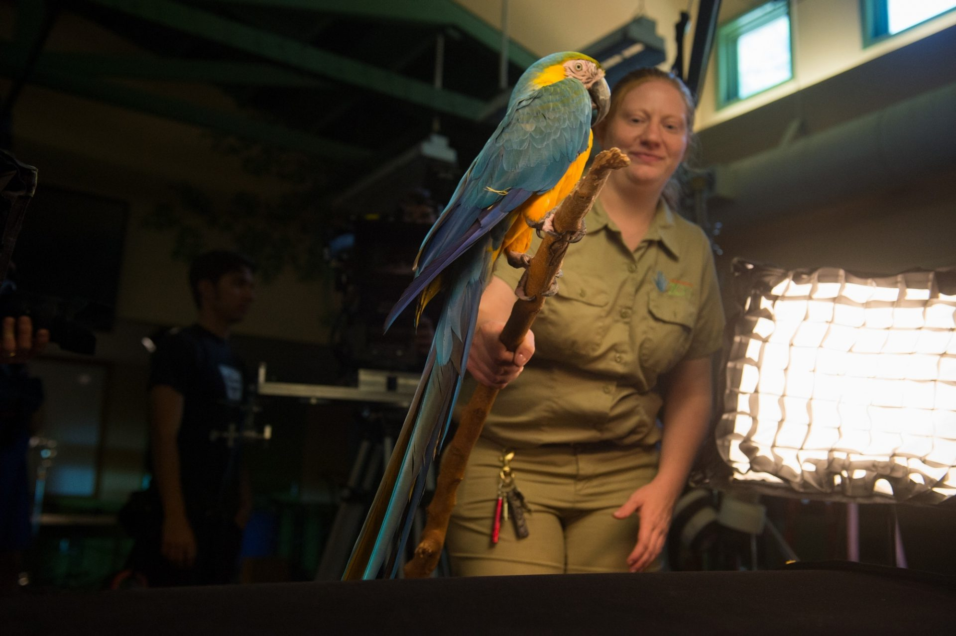 A zookeeper holds a blue and yellow macaw (Ara ararauna) the Lincoln Children's Zoo.