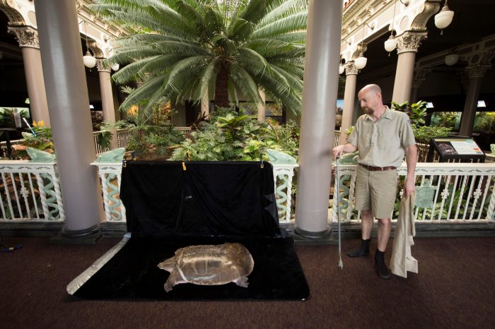Saint Louis Zoo staff preparing for a photo shoot of their critically endangered adult narrow-headed softshell turtle (Chitra chitra).
