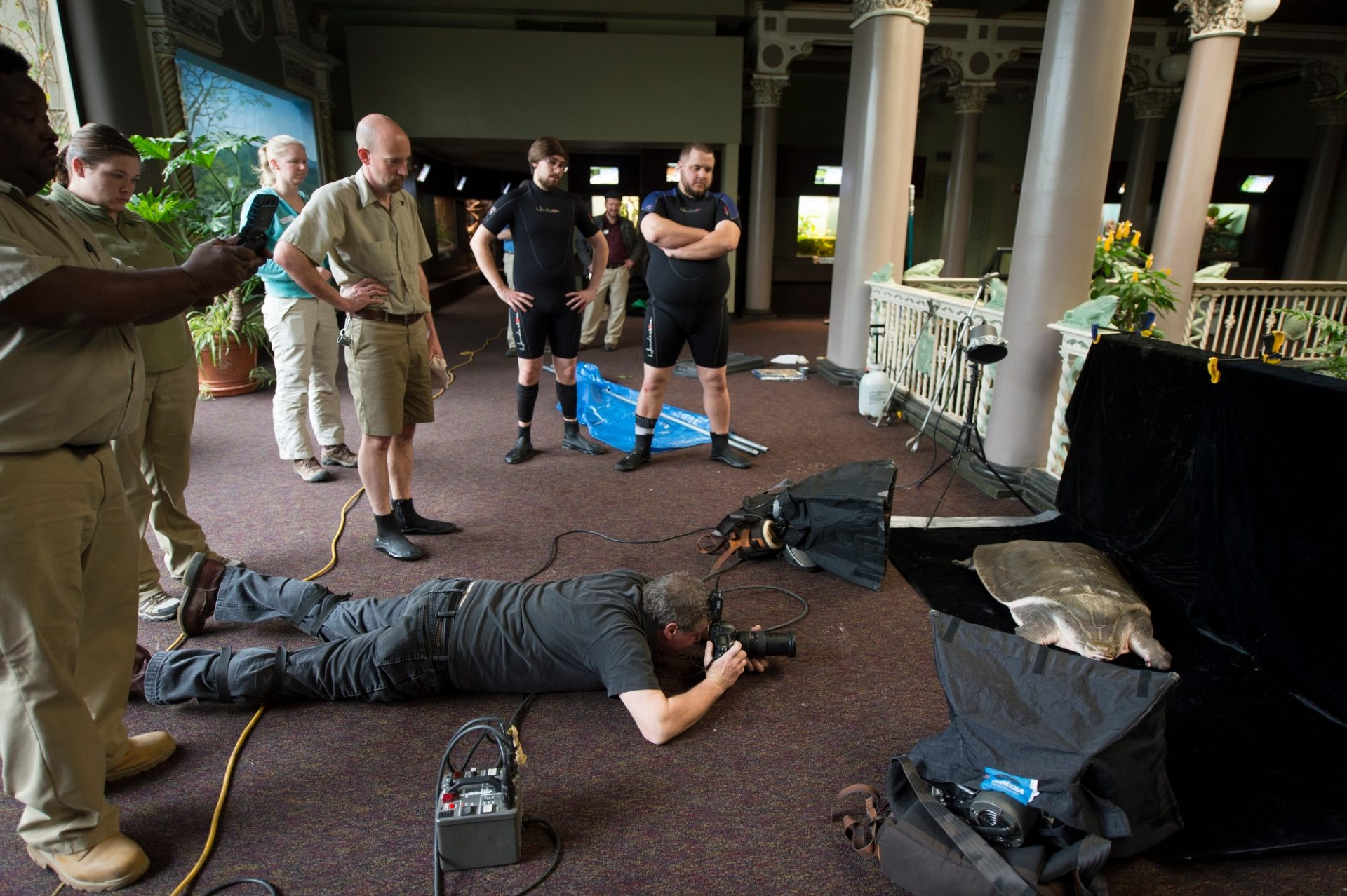 Saint Louis Zoo staff during a photo shoot of their critically endangered adult narrow-headed softshell turtle (Chitra chitra).