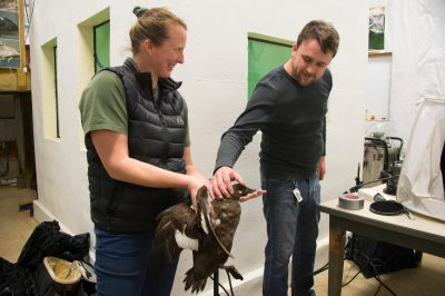 Photo: A staff member holds a female white-winged scoter at Patuxent Wildlife Research Center.