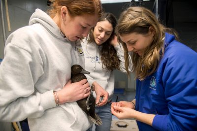 Photo: Zookeepers with a vulnerable, federally threatened female Steller's eider (Polysticta stelleri) at the Alaska SeaLife Center.