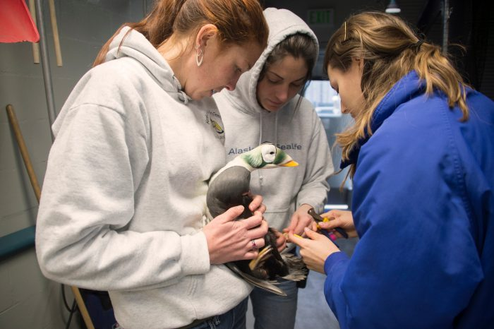 Picture of zookeepers with a federally threatened male spectacled eider (Somateria fischeri) at the Alaska SeaLife Center.