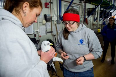 Photo: Zookeepers with a vulnerable red-legged kittiwake (Rissa brevirostris) at the Alaska SeaLife Center.