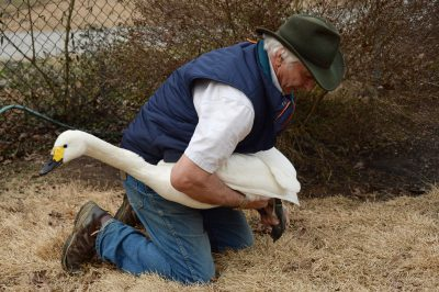 Mike Lubbock holds a Bewick's swan (Cygnus bewickii) at Sylvan Heights Waterfowl, a bird park and waterfowl breeding center in Scotland Neck, NC.