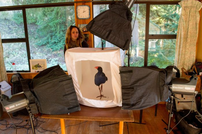 Picture of an Australasian swamphen or pukeko (Porphyrio melanotus) in a shooting tent at the Kiwi Birdlife Park in Queenstown, New Zealand.