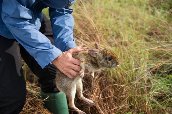 Photo: Releasing a wild caught Lower Keys marsh rabbit, Sylvilagus palustris hefneri, at the Key West Naval Base in Florida.