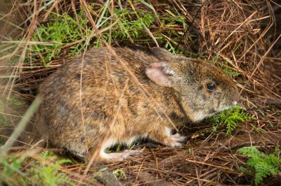 Photo: A wild caught Lower Keys marsh rabbit, Sylvilagus palustris hefneri, at the Key West Naval Base in Florida.