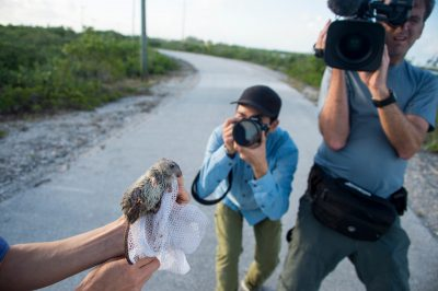 Photo: A television crew films a federally endangered wild caught silver rice rat (Oryzomys palustris natator) on a US Navy property near Key West, Florida.