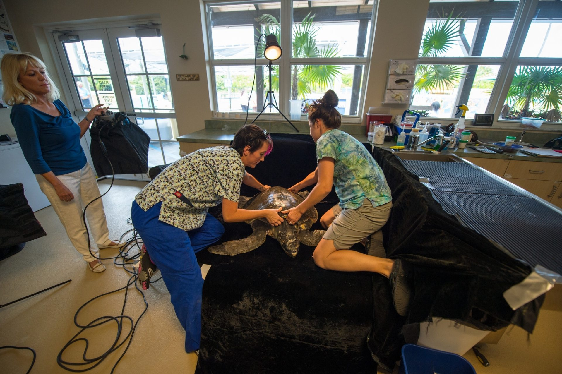 Photo: Staff members at the Loggerhead Marinelife Center prepare for a photoshoot of 'Megan' an olive ridley sea turtle (Lepidochelys olivacea). This animal came in after becoming entangled in fishing gear.