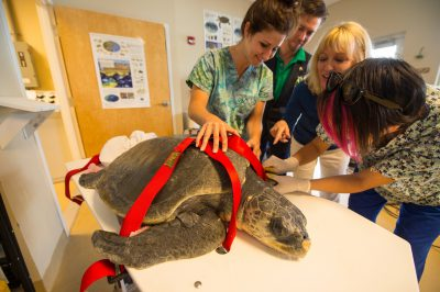 Photo: Staff members at the Loggerhead Marinelife Center care for 'Megan' an olive ridley sea turtle (Lepidochelys olivacea). This animal came in after becoming entangled in fishing gear.