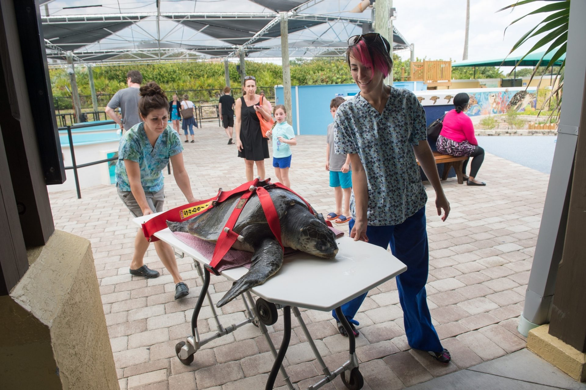 Photo: Staff members at the Loggerhead Marinelife Center transport 'Megan' an olive ridley sea turtle (Lepidochelys olivacea). This animal came in after becoming entangled in fishing gear.