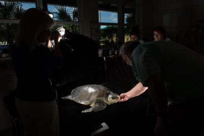 Photo: Staff members at the Loggerhead Marinelife Center assist with a photoshoot of 'Megan' an olive ridley sea turtle (Lepidochelys olivacea). This animal came in after becoming entangled in fishing gear.