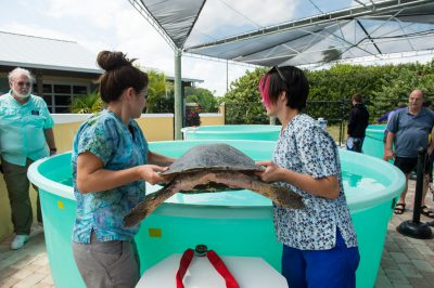 Staff members at the Loggerhead Marinelife Center care for 'Meghan' an olive ridley sea turtle (Lepidochelys olivacea). This animal came in after becoming entangled in fishing gear. Once rehabbed, the animal will be released in waters off the coast.