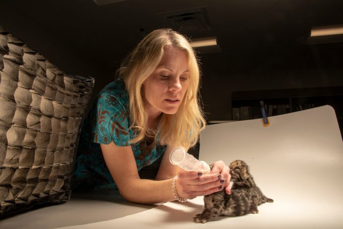 Photo: Veterinarian bottle feeding two female hand-raised nine-day-old clouded leopard cubs, Neofelis nebulosa, at the Nashville Zoo.