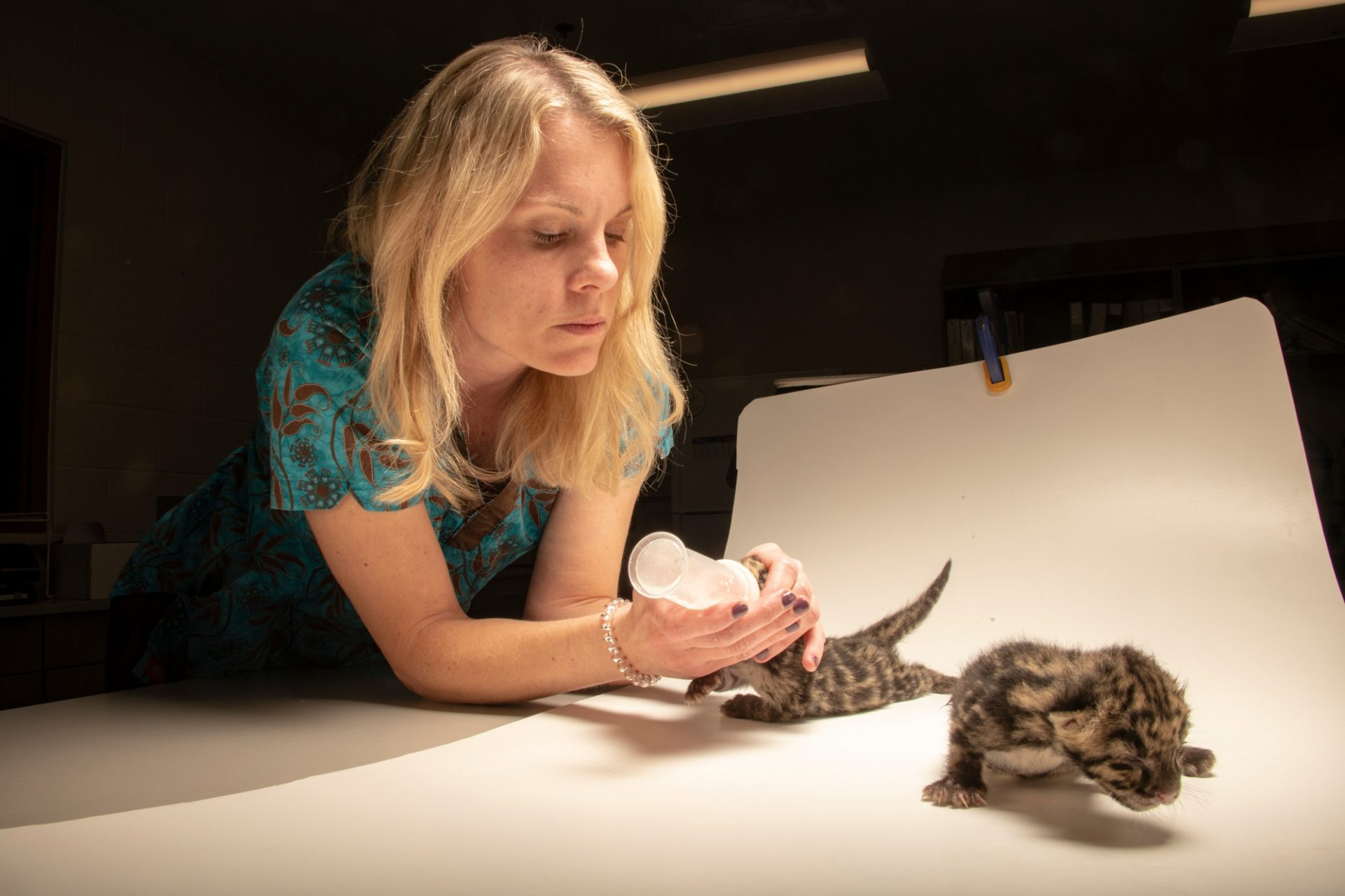 Photo: Veterinarian bottle feeding two female hand-raised nine-day-old clouded leopard cubs, (Neofelis nebulosa nebulosa), at the Nashville Zoo.