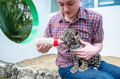 Photo: A two-month old jaguar cub (Panthera onca) named Teiku being bottle fed at the Santo Domingo Zoo.